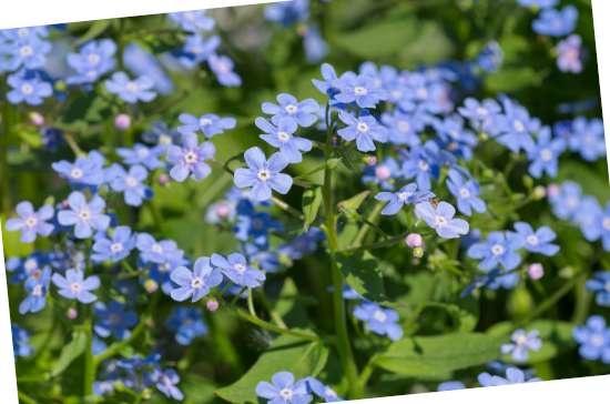 Kaukasisch vergeet-mij-nietje (Brunnera) is een plant geschikt voor kleigrond
