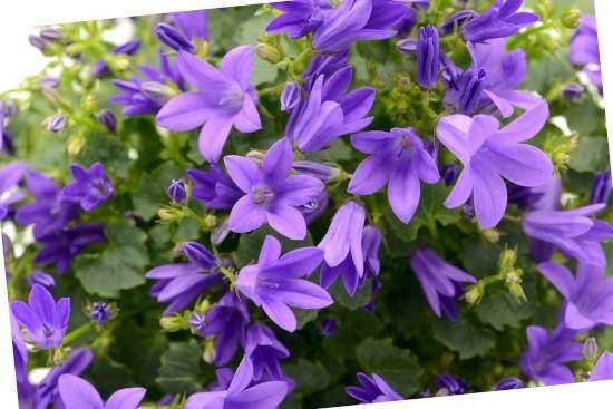 Klokjesbloem (Campanula) is een plant geschikt voor kleigrond