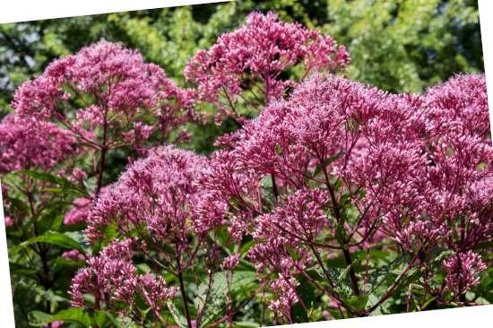 Koninginnekruid (Eupatorium) is een plant geschikt voor kleigrond