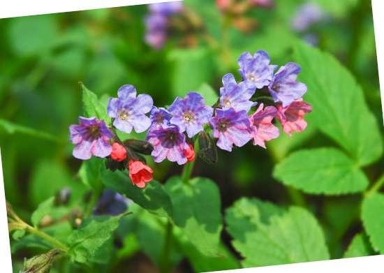 Longkruid (Pulmonaria) is een plant geschikt voor kleigrond