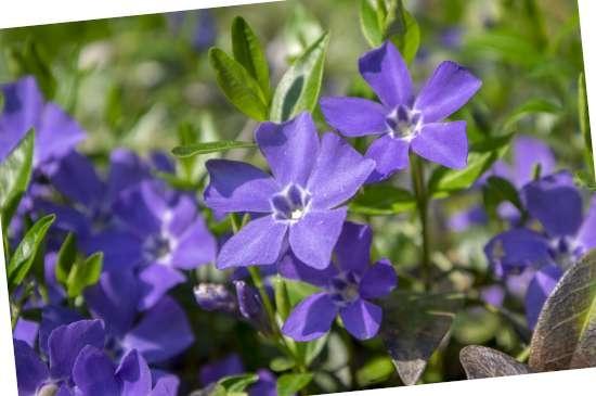 Maagdenpalm (Vinca) is een plant geschikt voor kleigrond