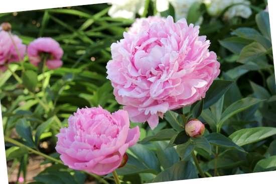 Pioenroos (Paeonia) is een plant geschikt voor kleigrond