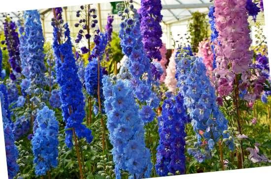 Ridderspoor (Delphinium) is een plant geschikt voor kleigrond