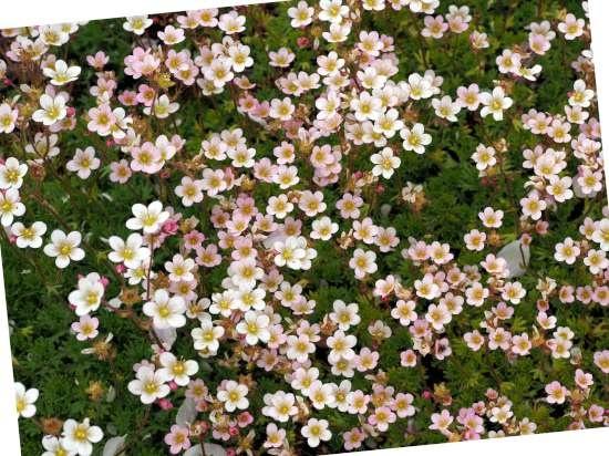 Schildersverdriet (Saxifraga x urbium) is een plant geschikt voor kleigrond