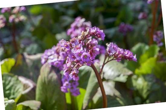 Schoenlappersplant (Bergenia cordifolia) is een plant geschikt voor kleigrond