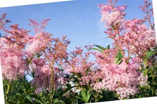 Schout-bij-nacht (Rodgersia) is een plant geschikt voor kleigrond