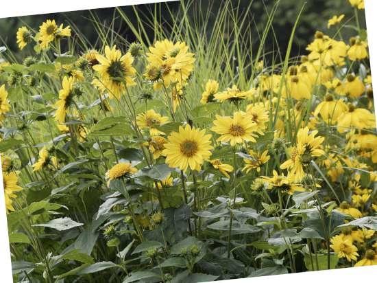 Vaaste zonnebloem (Helianthus decapetalus) is een plant geschikt voor kleigrond