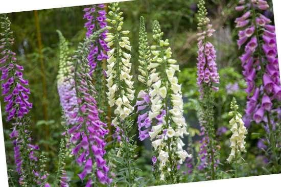 Vingerhoedskruid (Digitalis) is een plant geschikt voor kleigrond