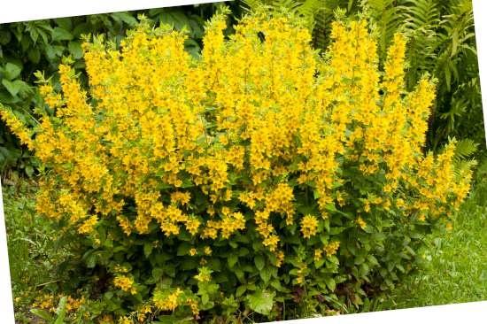 Wederik (Lysimachia)  is een plant geschikt voor kleigrond