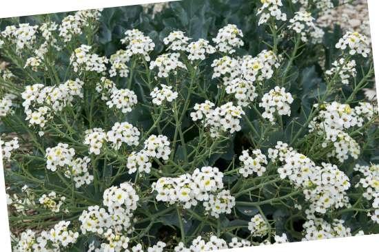 Zeekool (Crambe)  is een plant geschikt voor kleigrond