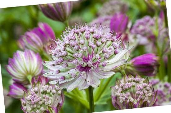 Zeeuws knoopje (Astrantia) is een plant geschikt voor kleigrond
