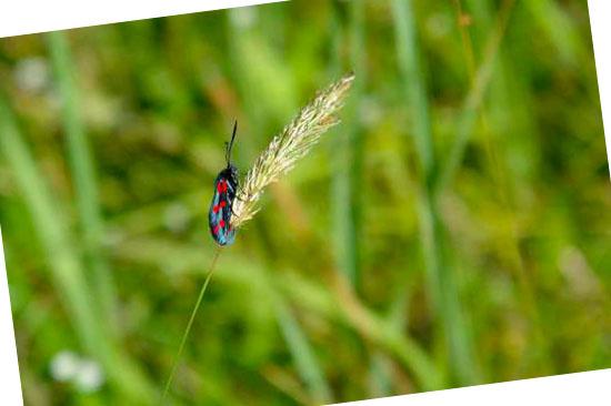 Grassoorten voor in de tuin - Anthoxanthum odoratum (reukgras)