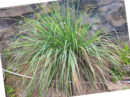 Grassoorten voor in de tuin - Cymbopogon flexuosus (citroengras)