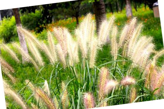 Grassoorten voor in de tuin - Cynosurus