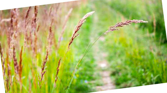 Grassoorten voor in de tuin - Festuca rubra