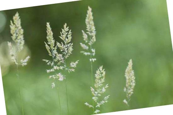 Grassoorten voor in de tuin - Holcus mollis