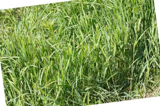 Grassoorten voor in de tuin - Kweekgras (Elytrigia repens)
