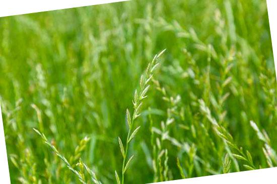 Grassoorten voor in de tuin - Lolium (Raaigras)