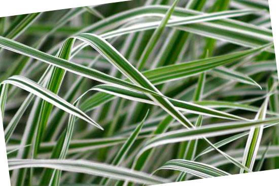Grassoorten voor in de tuin - Phalaris arundinacea