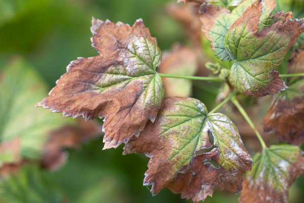 kieseriet als oplossing voor bruine en gele naalden of bladeren