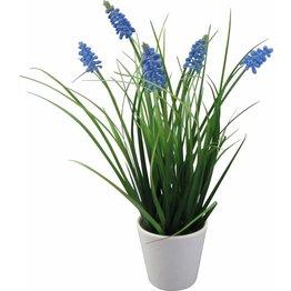 Hyazinthe mit Gras