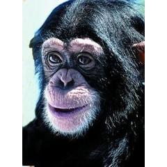 Animal Essences Tieressenzen Schimpanse 30 ml
