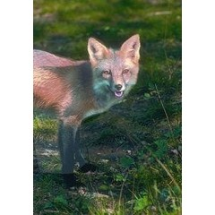 Animal Essences Tieressenzen Fuchs (Fuchs) 30 ml