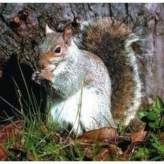 Animal Essences Tieressenzen Eichhörnchen (Eichhörnchen) 30 ml