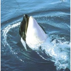 Animal Essences Tieressenzen Orca 30 ml