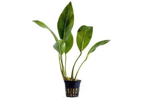 Aquaflora Anubias Congensis
