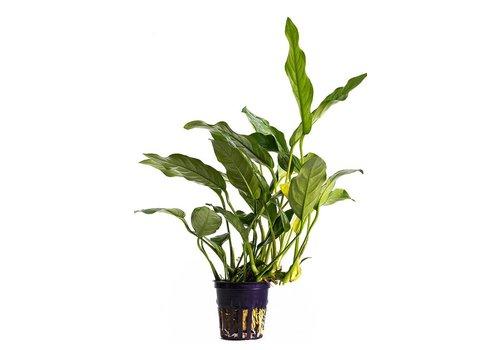 Aquaflora Anubias Gracilis