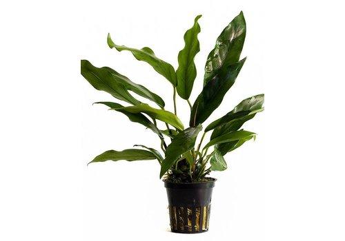 Aquaflora Anubias Minima