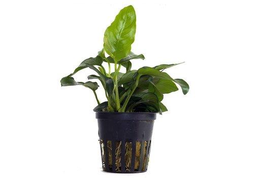 Aquaflora Anubias Nana