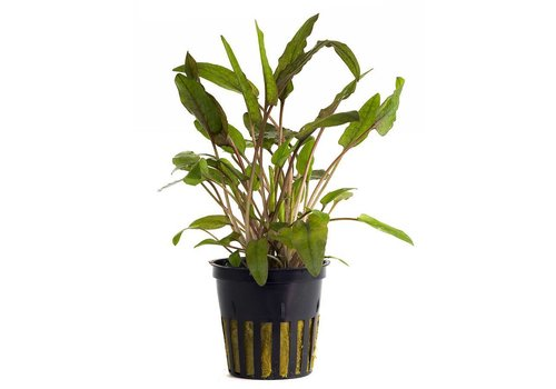 Aquaflora Cryptocoryne Wendtii 'Brown'