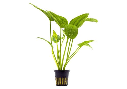 Aquaflora Echinodorus Radicans