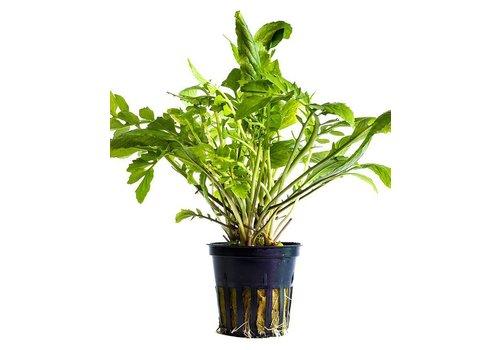 Aquaflora Amoracia Aquatica