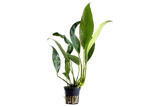 Aquaflora Anubias Afzeli