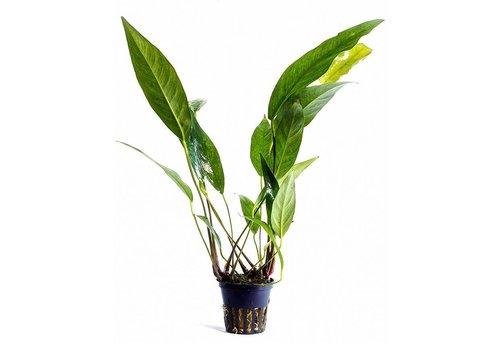 Aquaflora Anubias Lanceolata
