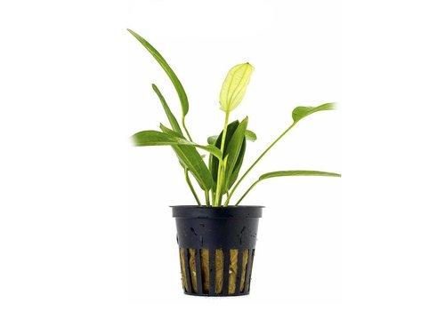 Aquaflora Echinodorus Tricolor