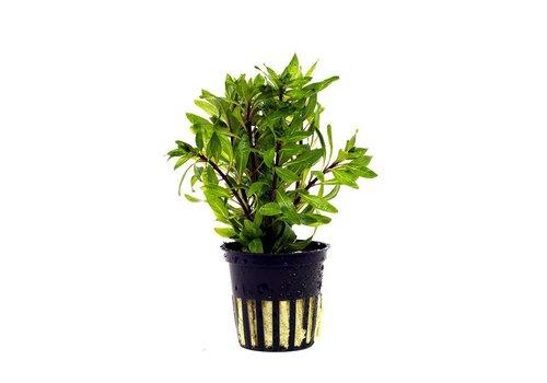 Aquaflora Ludwigia Inclinata 'Curly'