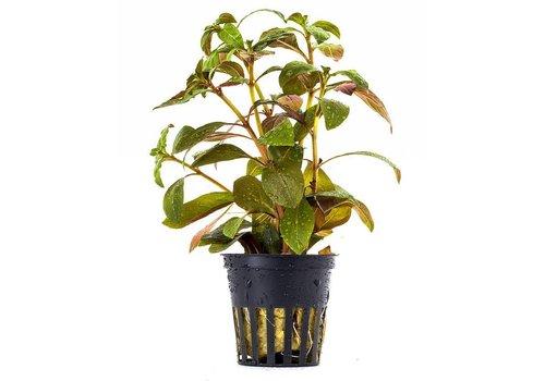 Aquaflora Ludwigia Glandulosa