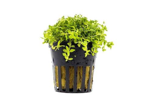 Aquaflora Micranthemum Micranthemoides