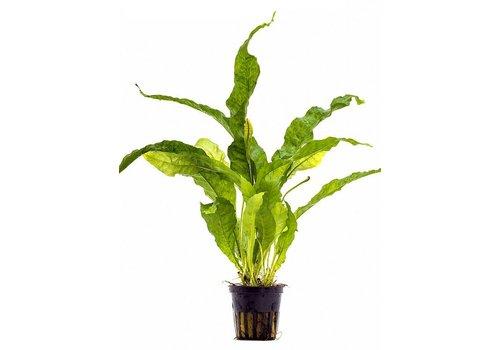 Aquaflora Microsorum pteropus 'Latifolia'