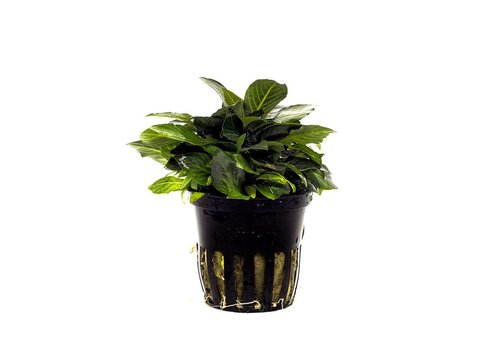 Aquaflora Nomaphila siamensis 'Parvifolia'
