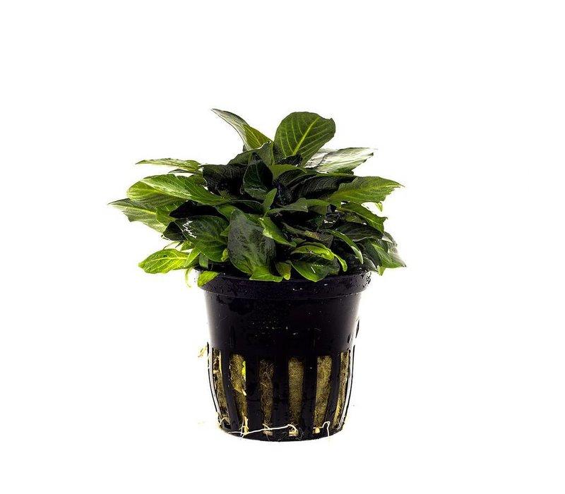 Nomaphila siamensis 'Parvifolia'