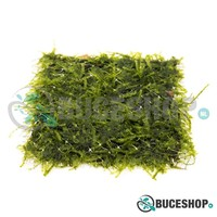 Taxiphyllum sp 'Spiky' - Spiky Moss