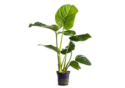 Aquaflora Anubias Barteri