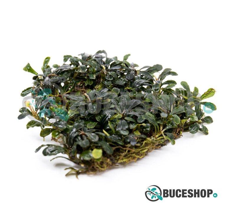 Bucephalandra Black Tears