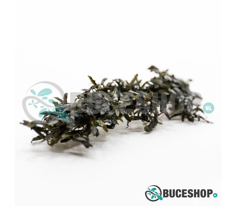 Bucephalandra Catherinae 'Dark'