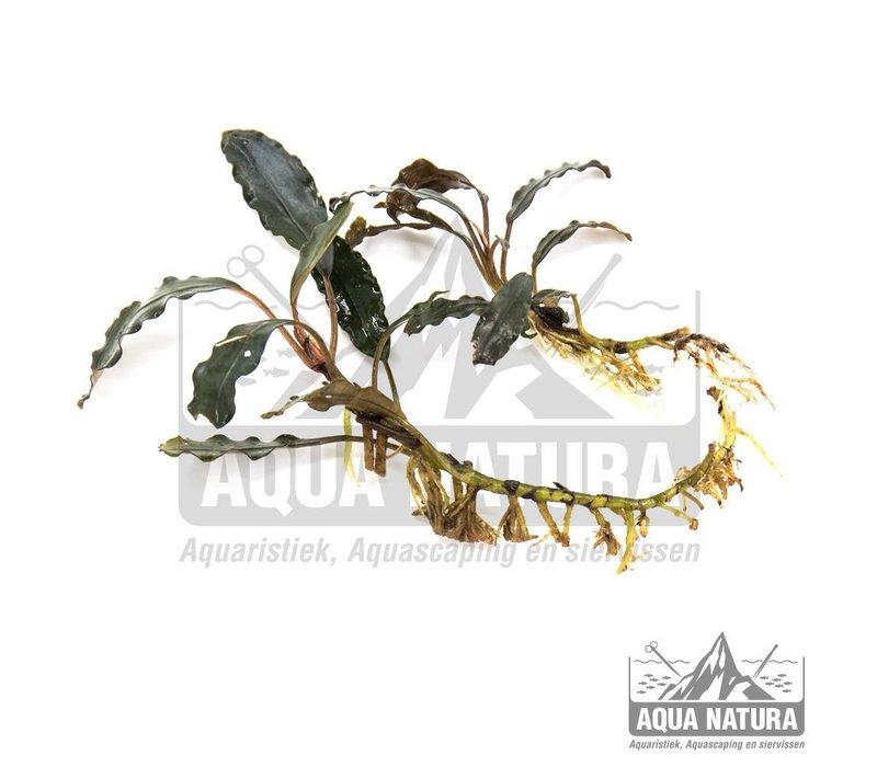 Bucephalandra Mirabelle 02